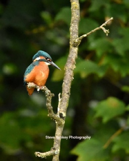 Kingfisher on the River Teme